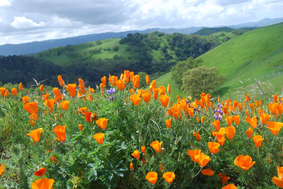 Poppies - Mt Diablo